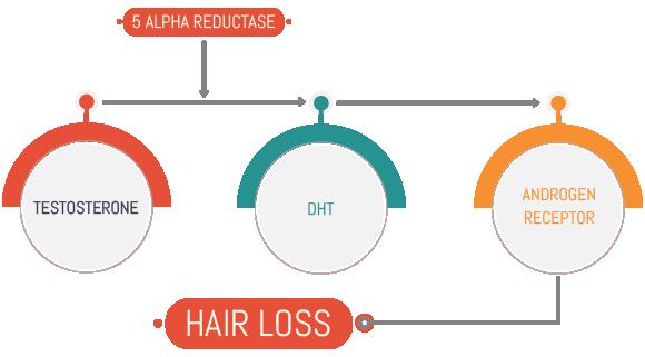 Mechanism of hair loss